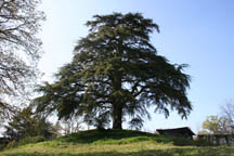 Our Ceder tree @ le cedre, Vendee.